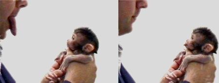 Makak Neonatal Imitation: Wikipedia